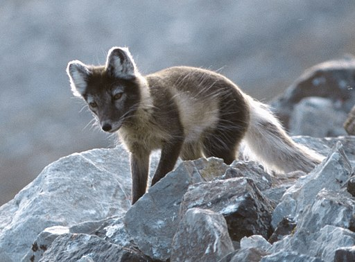Arctic Fox Photo by By Michael Haferkamp [GFDL (http://www.gnu.org/copyleft/fdl.html) or CC-BY-SA-3.0 (http://creativecommons.org/licenses/by-sa/3.0/)], from Wikimedia Commons